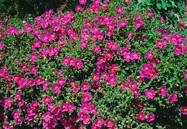 Cistus Incanus-Could it be the answer to chronic illness?